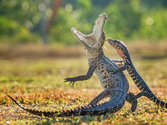 Crocodilo leva susto após lagarto atrevido saltar sobre ele