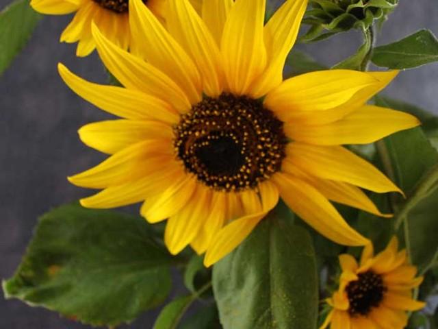 Sonnenblumen Aquarelle