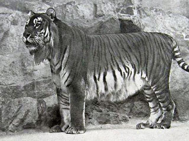 Des chercheurs veulent ramener à la vie une espèce de tigre disparue