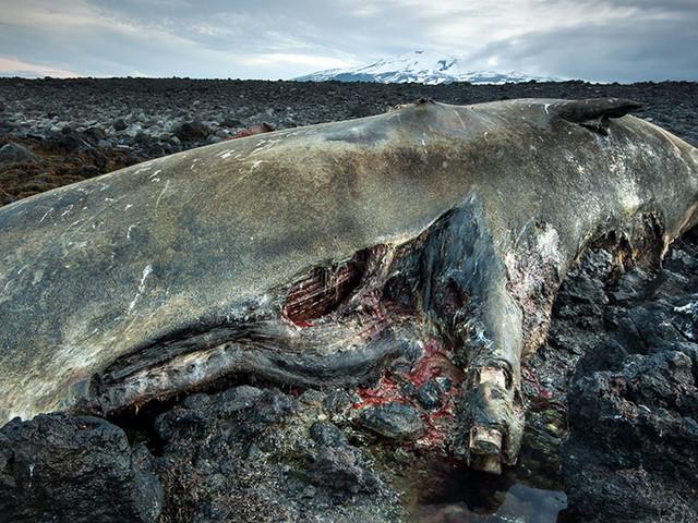 Les sons émis par l'activité humaine tuent des centaines de baleines chaque année