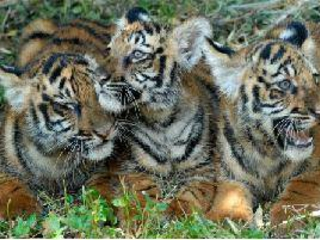 Ramesh urges Naveen to save tiger in Odisha