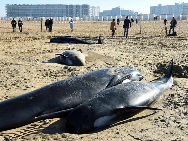 Dieci balene si arenano sulle coste francesi di Calais [FOTO]