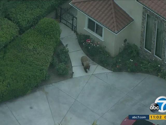 VIDEO: Large bear sprints through neighborhood