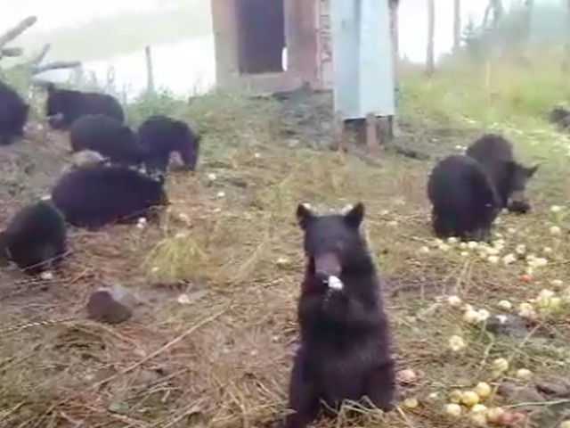 Video of bears feasting on apples is weirdly soothing