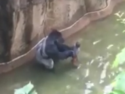Video shows frightening moments after child falls into gorilla habitat at Cincinnati Zoo