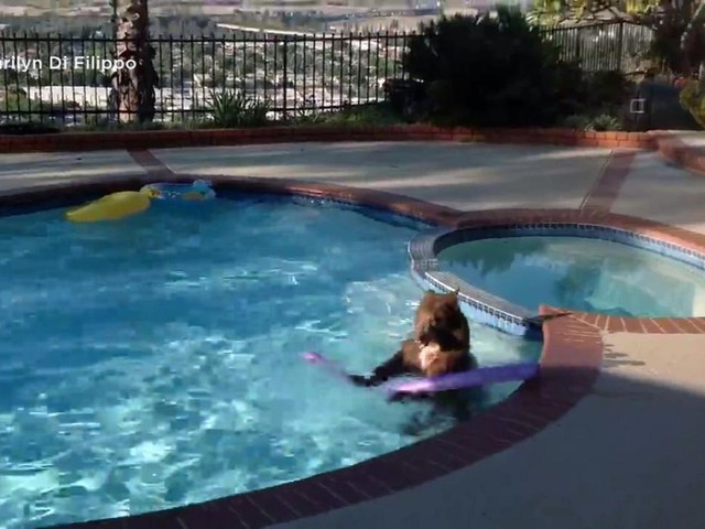 VIDEO: Bear cools off in pool as record heat sweeps SoCal
